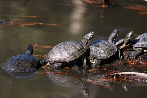 turtles-puttering-along-together