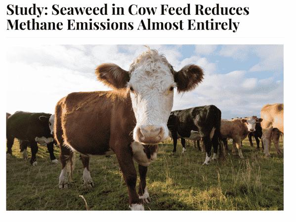 Cows Seaweed